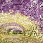 Тунель из вистерии