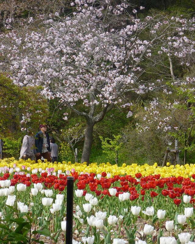 Тюльпаны в цветочном саду «Хамамацу»