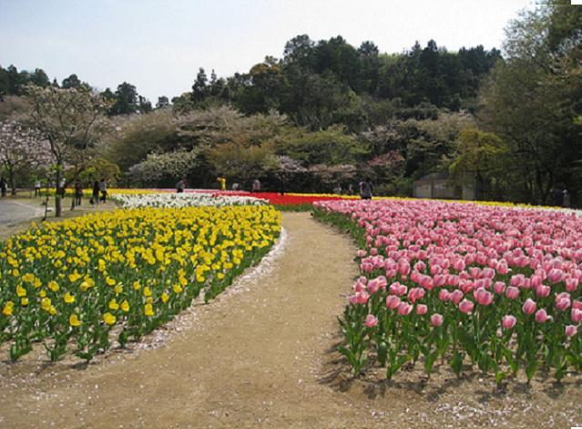 Тюльпаны в японском саду «Хамамацу»
