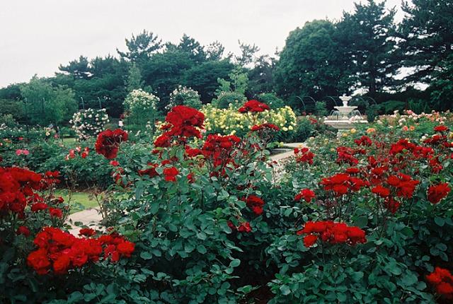 Розарий в японском саду «Хамамацу»