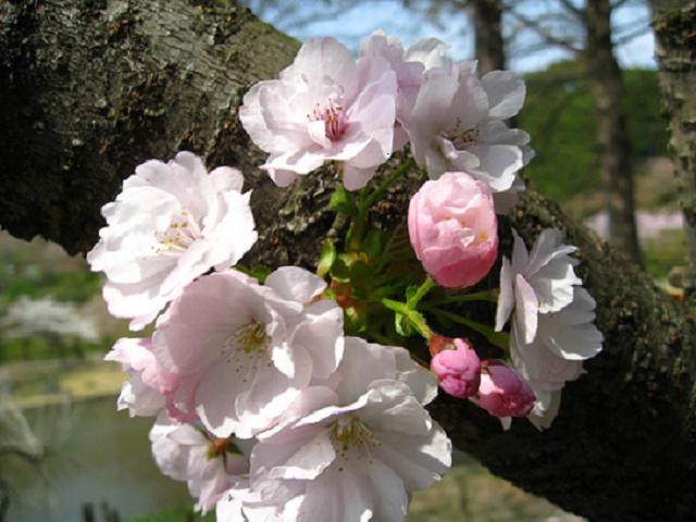 Сакура в японском саду «Хамамацу»