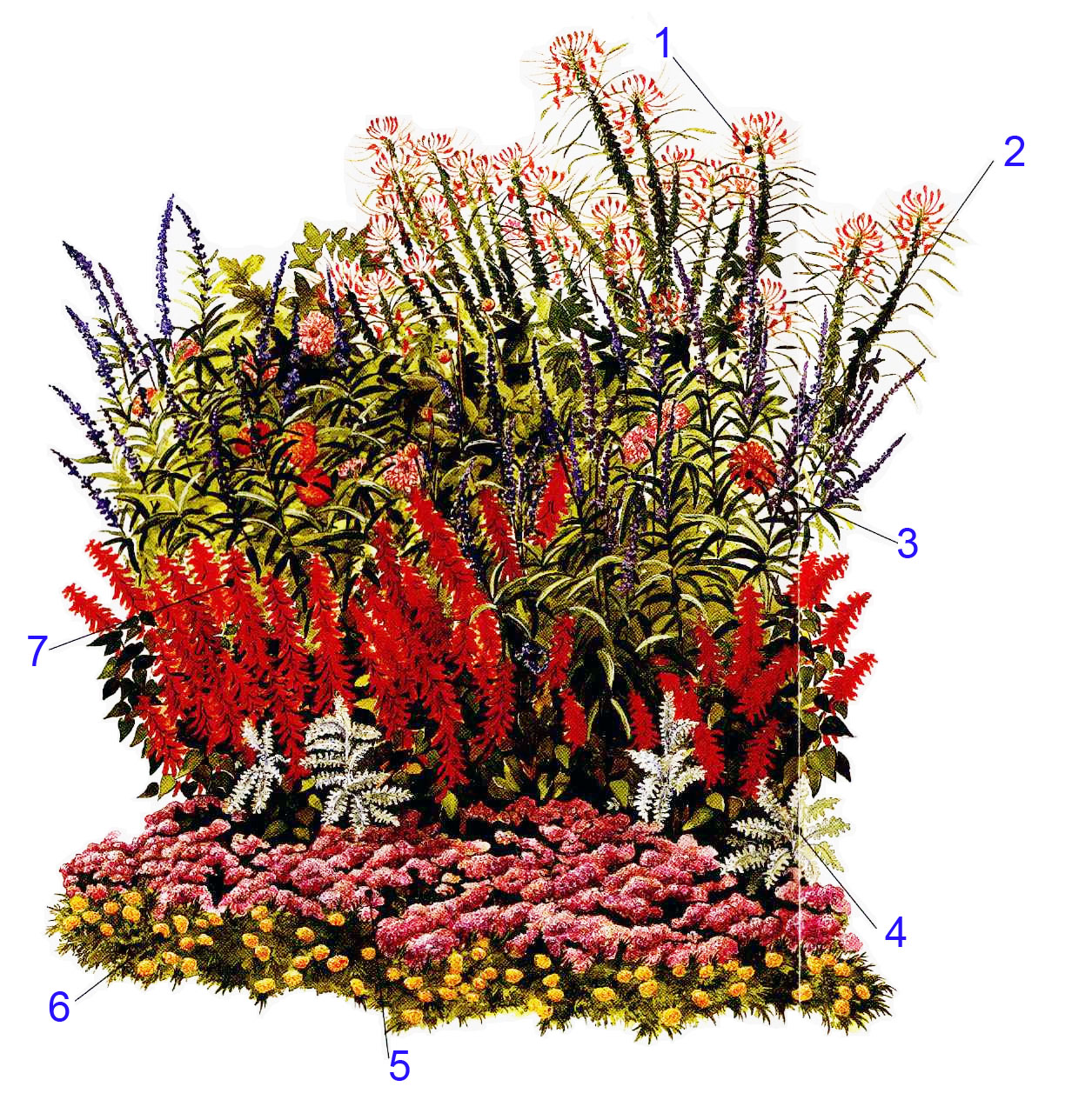 Брызги шампанского цветок садовый фото