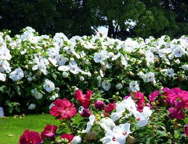 Цветы в японском саду «Хамамацу»